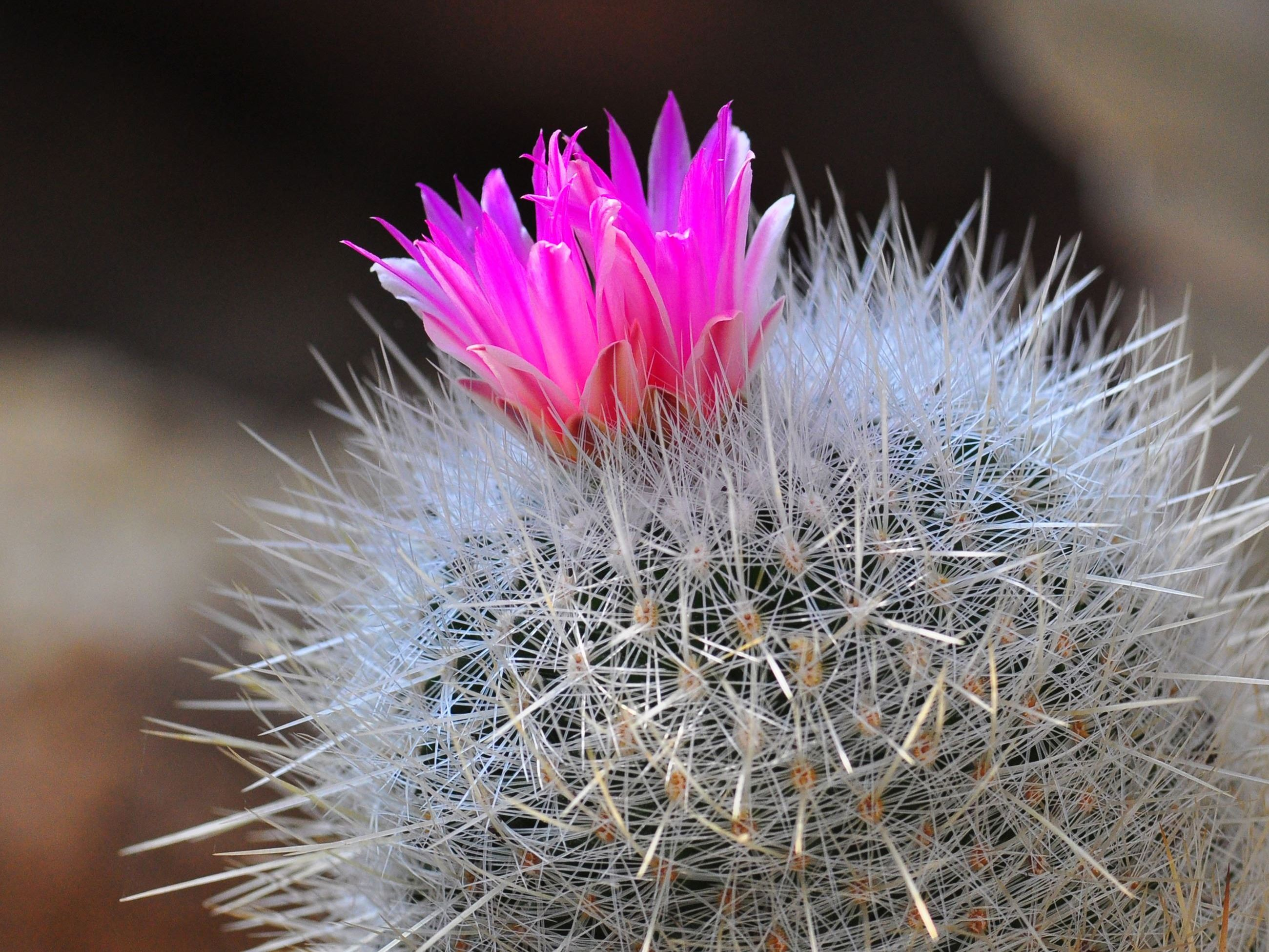 Donna Velcio - Blooming Barrel Cactus in Paradise Valley