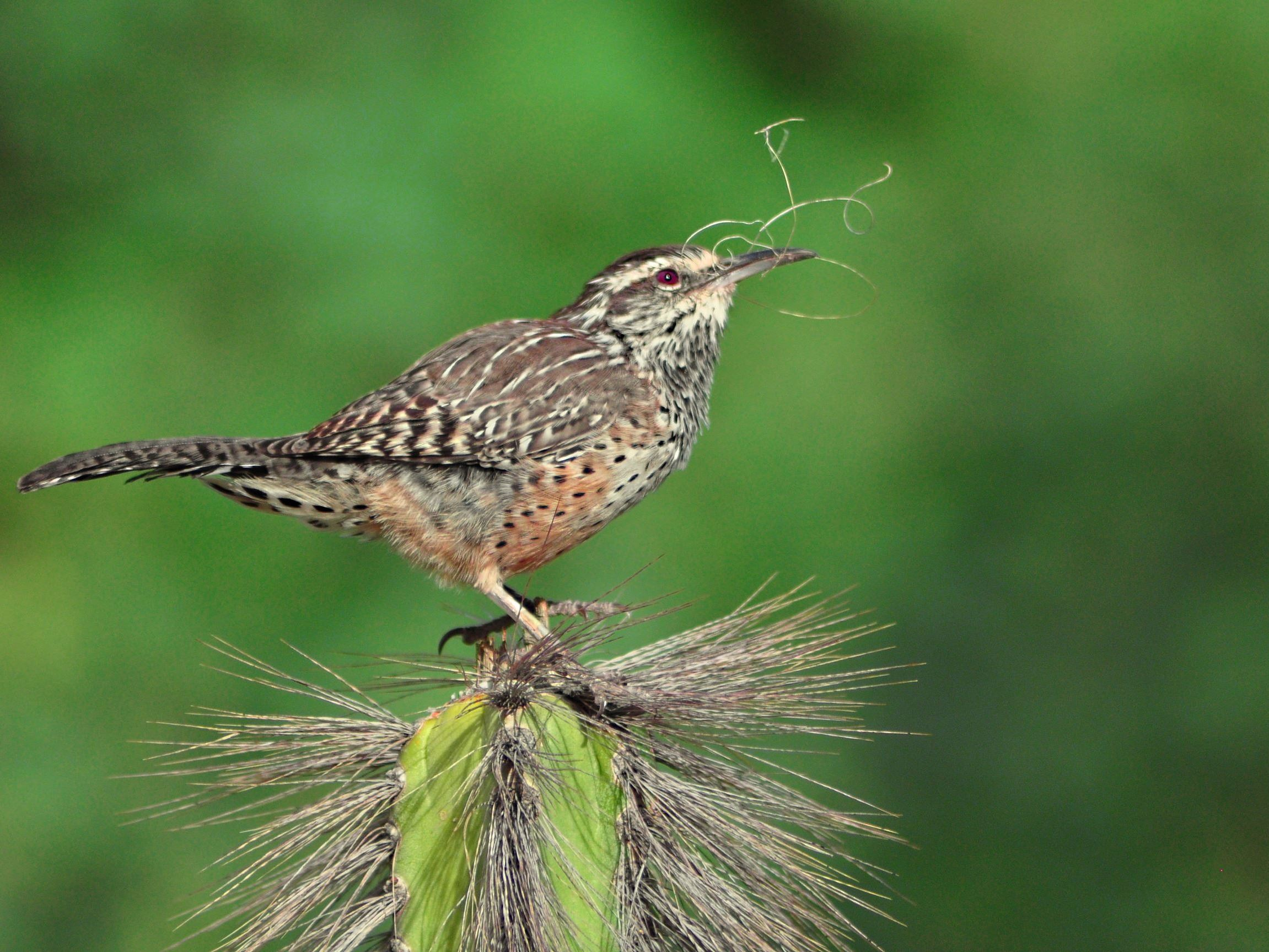 Donna Velcio - Cactus Wren in Paradise Valley