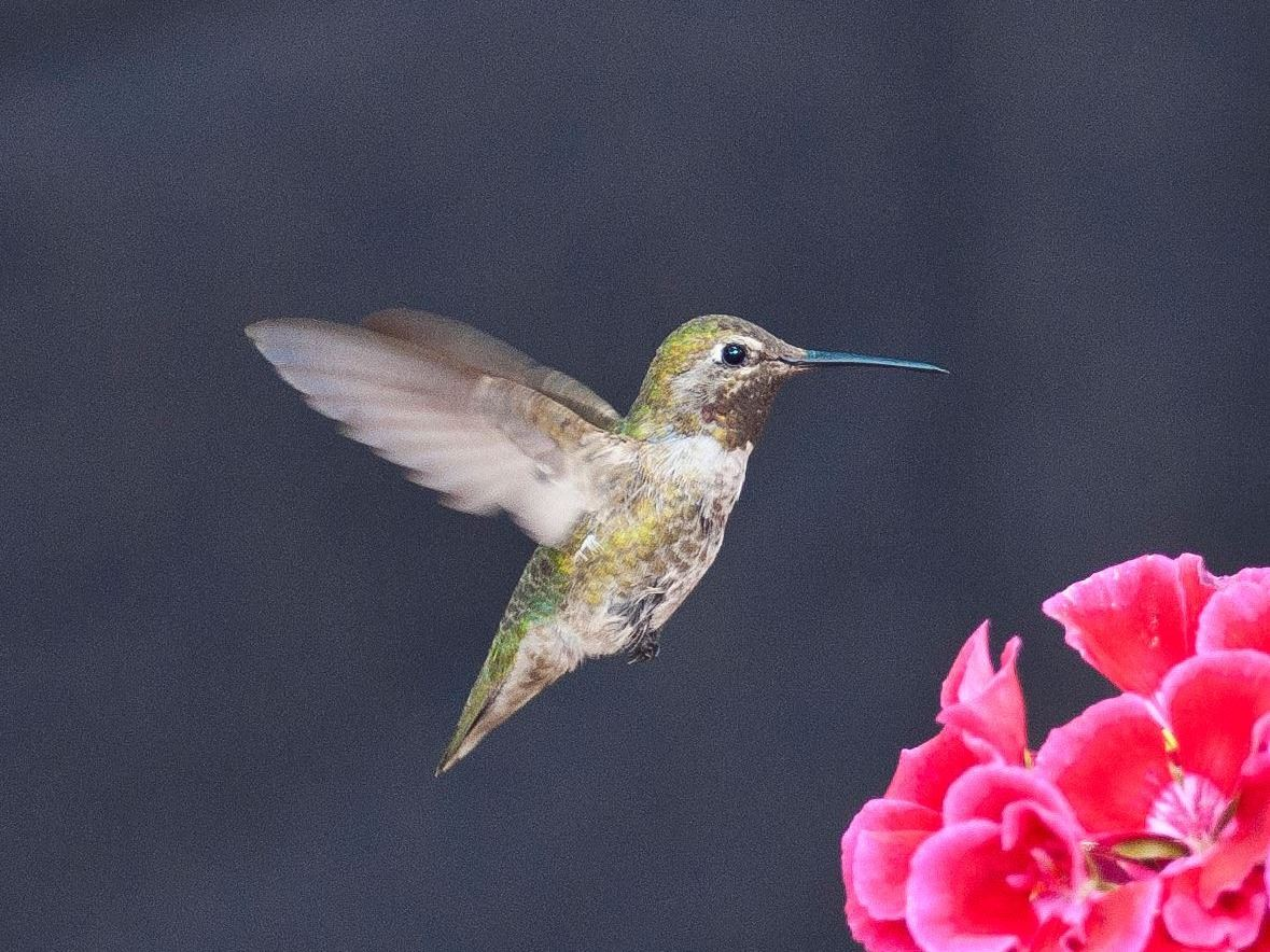 Donna Velcio - Hummingbird in Paradise Valley