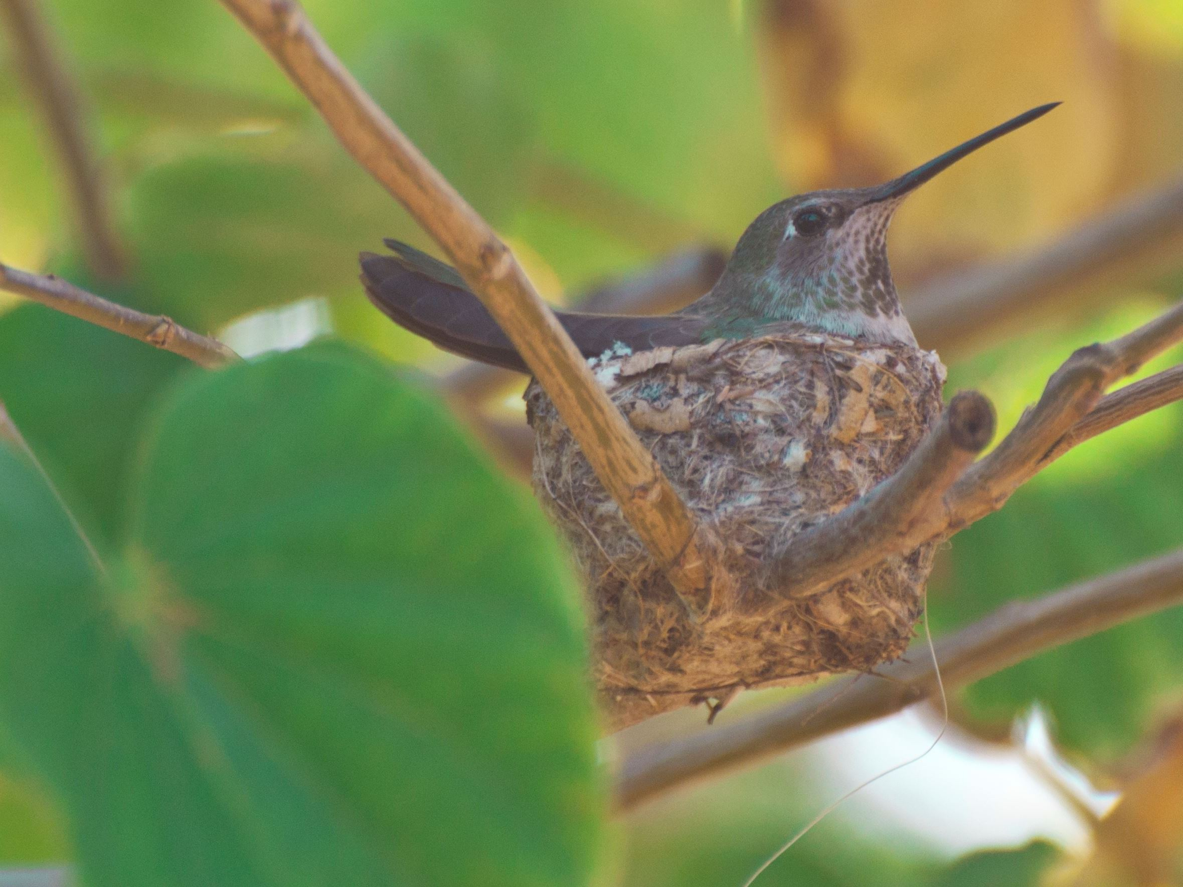 Donna Velcio - Hummingbird in Nest in Paradise Valley