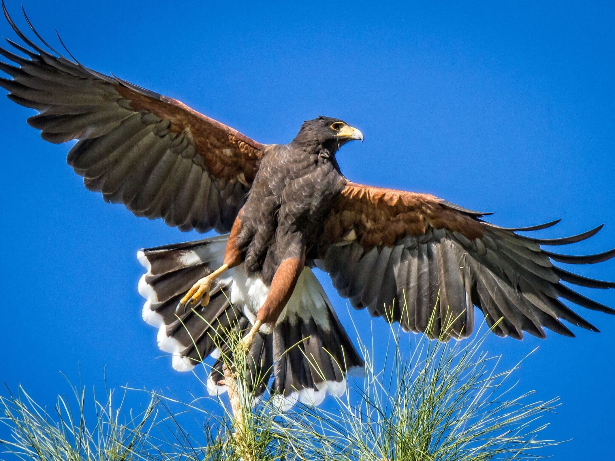 Lawrence Finkel - Harris Hawk