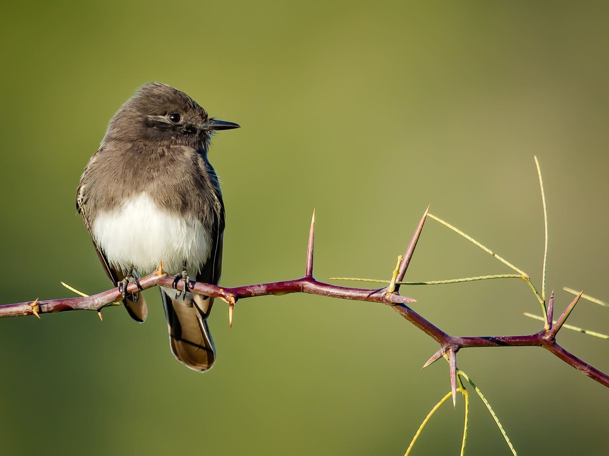 Lawrence Finkel - Black Phoebe